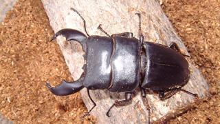 スマトラオオヒラタ Dorcus titanus