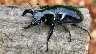 タランドゥスオオツヤクワ Mesotopus tarandus